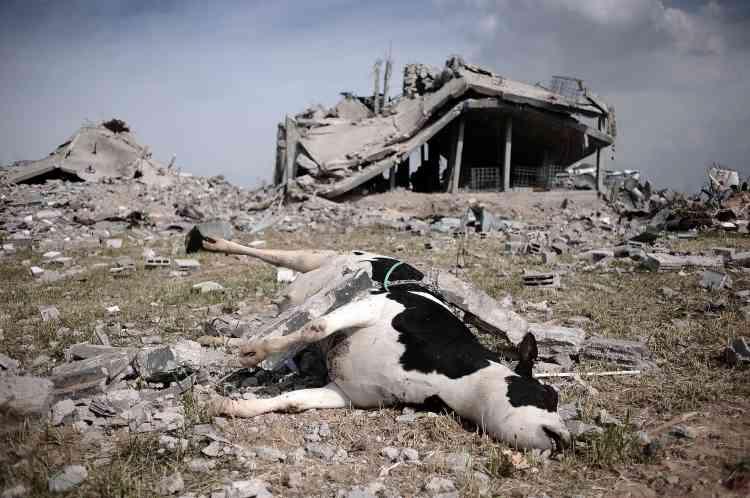 Une vache git parmi les décombres à l'est de Jabalia. De nombreuses exploitations agricoles du territoire ont été rasées.