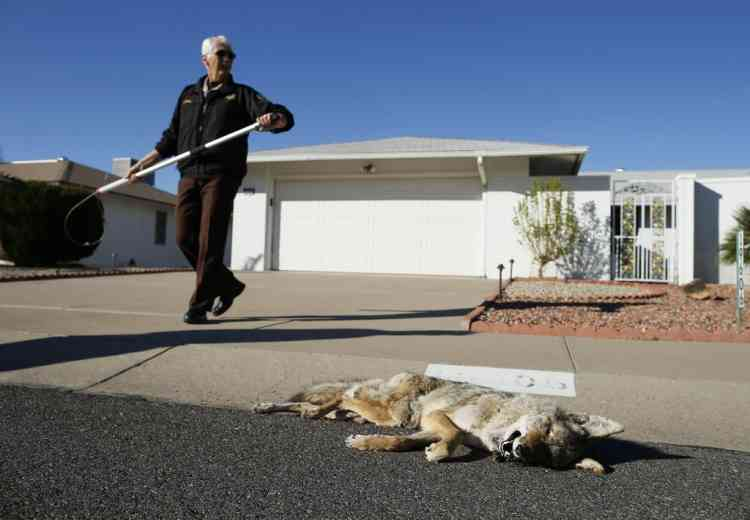 Sheriff's Posse of Sun City Commander Arthur Jenkins, 67, removes a coyote from an absent resident's back yard in Sun City, Arizona, January 8, 2013. Sun City was built in 1959 by entrepreneur Del Webb as America's first active retirement community for the over-55's. Del Webb predicted that retirees would flock to a community where they were given more than just a house with a rocking chair in which to sit and wait to die. Today's residents keep their minds and bodies active by socializing at over 120 clubs with activities such as square dancing, ceramics, roller skating, computers, cheerleading, racquetball and yoga. There are 38,500 residents in the community with an average age 72.4 years.    Picture taken January 8, 2013.    REUTERS/Lucy Nicholson (UNITED STATES - Tags: SOCIETY ANIMALS)