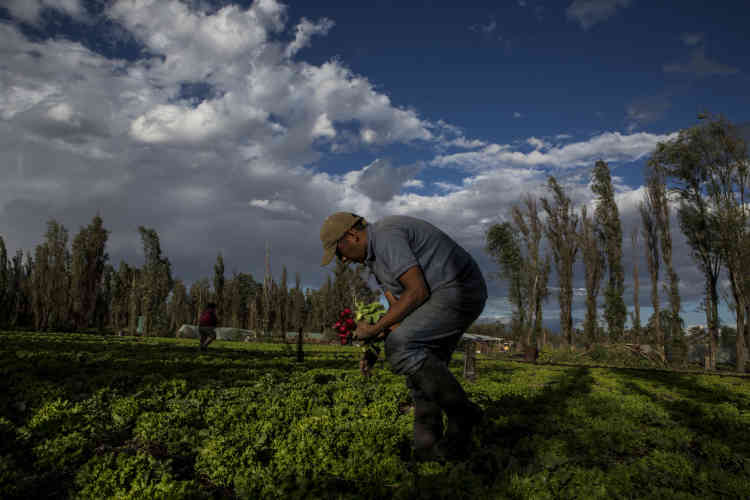 Un homme cueille des radis à Paraje.