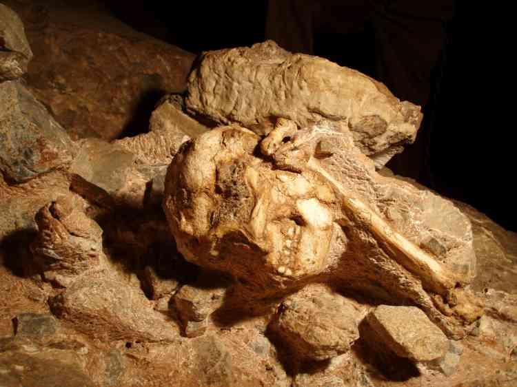 Le fossile sud-africain, découvert en 1995 à Sterkfontein, n'est pas seulement l'australopithèque le plus complet jamais exhumé ; il est aussi de 500 000 ans plus vieux que la célèbre Lucy. Une équipe internationale en a apporté la démonstration dans la revue Science, le 2 avril. Dans cette même vallée de la Bloubank, l'Américain Lee Berger a annoncé, en septembre, avoir mis au jour une nouvelle espèce non datée du genre humain : Homo naledi. Mais malgré – ou à cause de – sa mise en scène tapageuse, nombre de ses confrères demeurent sceptiques.
