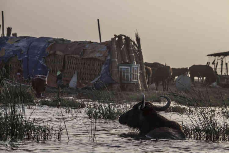 Les buffles sont ici les maîtres des lieux et la principale source de revenus de centaines de familles. Des troupeaux entiers de buffles nagent au fil des roseaux, dont ils se nourrissent.