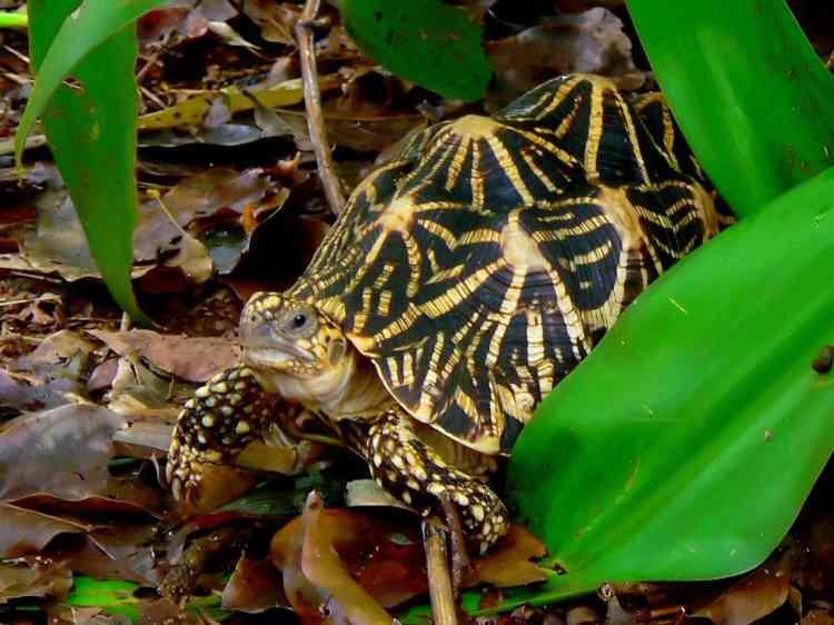 La tortue étoilée d'Inde (Geochelone elegans) est passée de« préoccupation mineure» à «vulnérable». Le nombre d'individus de cette espèce reste relativement élevé selon les estimations de l'UICN. Cependant, à cause de son esthétique, cette tortue est de plus en plus achetée comme animal de compagnie. La récente explosion de la demande pour cette espèce a entraîné une surchasse dans sa région d'origine, en Asie du Sud.
