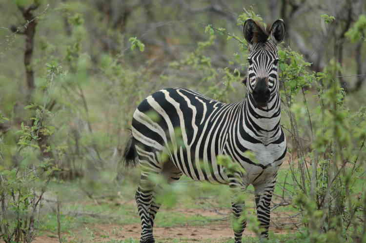 Le zèbre des plaines (Equus quagga) fait partie de ces espèces nouvellement inscrites sur la liste rouge de l'UICNen passant de« préoccupation mineure» à« quasi menacée». Auparavant abondante et largement répartie, cette espèce a vu sa population diminuer de 24% durant les quatorze dernières années. Aujourdhui, le zèbre des plaines est chassé pour sa viande et sa peau.