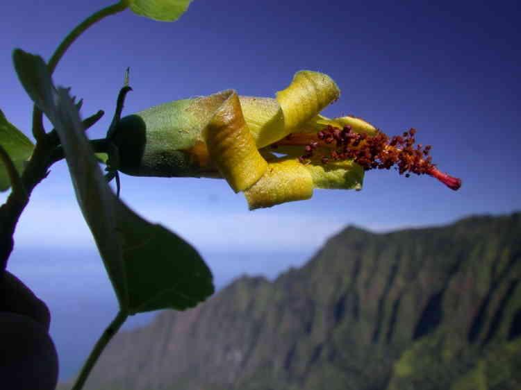 Hibiscadelphus woodii est également une espèce endémique de l'île de Kauai, dans l'archipel d'Hawaï. Auparavant classée «en danger critique d'extinction»,cette espèce, découverte en 1991, serait aujourd'huiéteinte, aucun spécimen vivant n'ayant été observé depuis 2011. Seuls quatre spécimens de cette plante avaient été recensés.