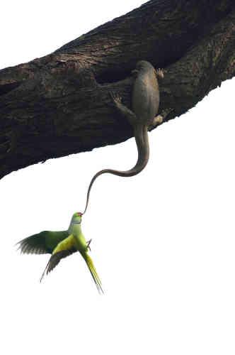 Premier prix oiseaux – Ganesh H. Shankar (Inde). Dans le parc national indien de Keoladeo, des perruches à collier tentent de débarrasser un grand arbre d'unvaran du Bengale.Ils l'ont persécuté pendant deux jours avant de renoncer et de chercher un autre site de ponte. Ces oiseaux indiens sont très adaptables. Des perruches à collier auparavant en captivité ont ainsi fondé des populations viables jusqu'en Europe.