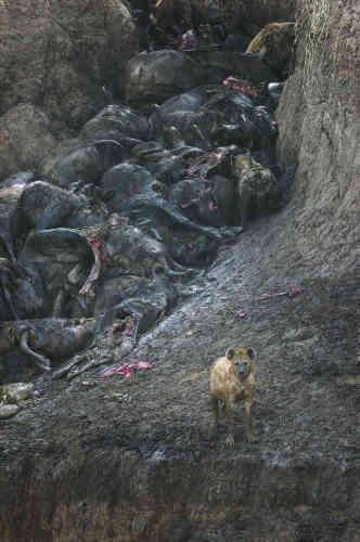 Premier prix mammifères – Simon Stafford (Royaume-Uni).Une hyène monte la garde près de carcasses de gnous morts la veille, dans une bousculade. Ils tentaient de traverser la rivière Mara en évitant les crocodiles, dans laréserve de Masaï-Mara, au Kenya.