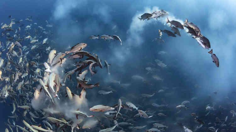 Premier prix monde sous-marin – Tony Wu (Etats-Unis). Quelques jours par mois, à la pleine lune, des milliers de vivaneaux chiens-rouges se rassemblent pour frayer autour de l'île Palau, dans l'ouest du Pacifique. Les poissons répandent semence et œufs dans l'eau et les prédateurs arrivent pour tirer parti de cette abondance. Toujours fasciné par l'ampleur de ce phénomène naturel, Tony reviendra à Palau en avril prochain pour assister à nouveau au spectacle.