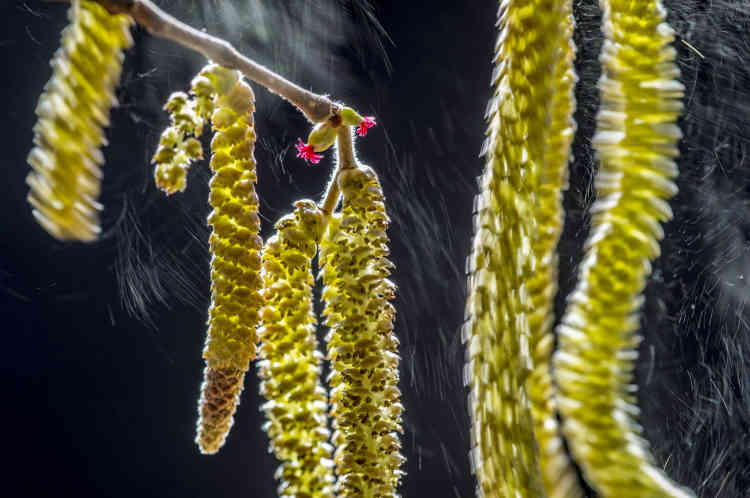 Premier prix botanique – Valter Binotto (Italie).Des nuages de pollen de noisetier s'envolent, irisés par la lumière hivernale, dans le nord de l'Italie. Valter a utilisé un temps de pause long pour capter le vol du pollen qui s'échappait et un réflecteur pour souligner les chatons. Il a pris un bon nombre d'images avant que le vent ne lui offre enfin la composition qu'il avait en tête.