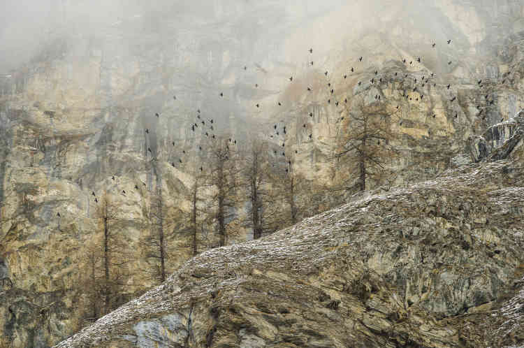 Premier prix paysages – Stefano Unterthiner (Italie).Presque invisible dans les nuages, un gypaète, dont on distingue la forme caractéristique et la queue cunéiforme, survole un groupe de chocards à bec jaune, longeant une ligne de crête du val d'Aoste, dans le parc national du Grand Paradis.