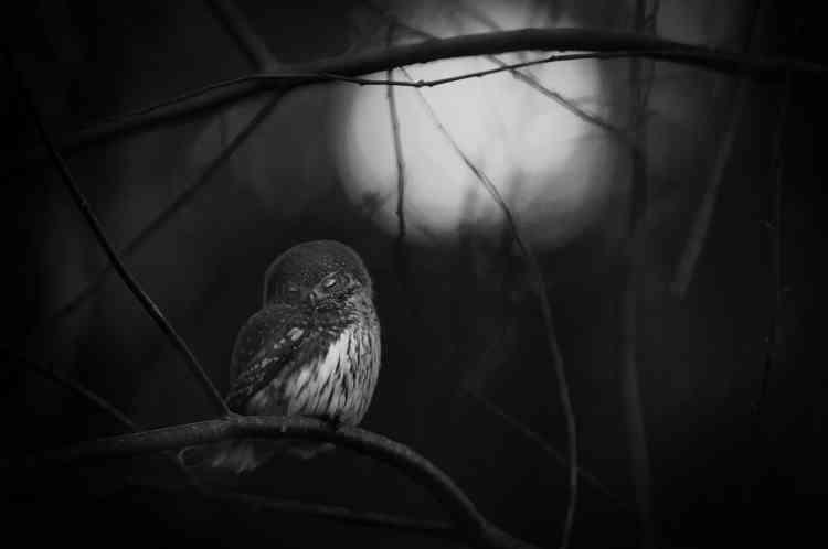 Premier prix noir et blanc – Mats Andersson (Suède). Mats appréciait la compagnie d'un couple de chevêchettes dans la forêt proche de sa maison, à Bashult, dans le sud de la Suède. Une nuit, il trouva l'un des deux oiseaux au sol, sans vie. Il décida de photographier la survivante : « L'attitude de cette chevêchette reflète la tristesse que m'a causé la disparition de sa compagne.»