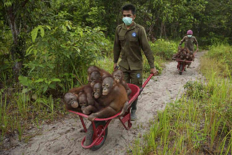 Premier prix ex aequo photojournaliste (récit) – Tim Laman (Etats-Unis). Les centres de soins comme celui de Ketapang, dans l'ouest du Kalimantan, en Indonésie, virent arriver un afflux d'orphelins à la suite des feux de 2015. Ici ils emportent un groupe de jeunes orangs-outangs d'un ou deux ans, pour jouer dans la forêt. C'est là qu'ils apprendront les bases de la survie dans la nature.