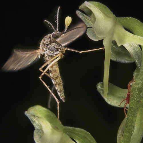 Le développement du virus Zika et la persistance du paludisme et de la dengue ont fait du moustique l'ennemi public numéro un. Pour piéger les anophèles et les Aedes, tout est bon. Contre les seconds, la Food and Drug Administration américaine a donné, au mois d'août, en Floride, le feu vert pour un largage de moustiques transgéniques capables de stériliser leurs congénères – expérimentation ajournée en raison de l'opposition locale. Pour lutter contre les premières, l'OMS veut renforcer le programme de distribution de moustiquaires imprégnées, grâce auxquelles la maladie a reculé de 60% en quinze ans. Certains, enfin, cherchent les solutions dans la nature. Et puisque, comme le montre la présente photo, cette orchidée attire les moustiques tigres, pourquoi ne pas utiliser son odeur pour créer de nouveaux pièges?