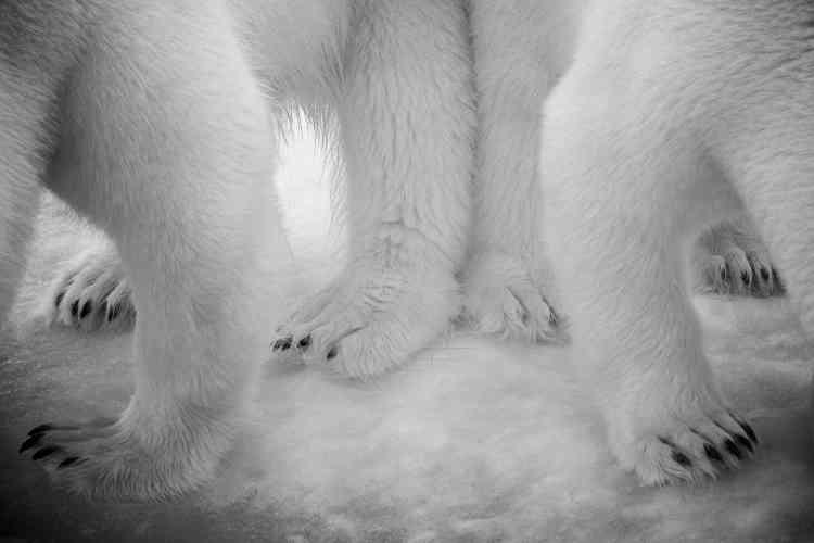 Ces pattes font de superbes rames ; larges, elles permettent de marcher sur la glace fine et leurs griffes non rétractiles agissent comme des crampons. Consciente de la diminution de l'habitat de l'espèce, le changement climatique réduisant la glace de mer indispensable aux ours, Eilo cadra au plus serré, et utilisa le noir et blanc afin de «montrer la pollution comme une ombre jetée sur cet environnement vierge».