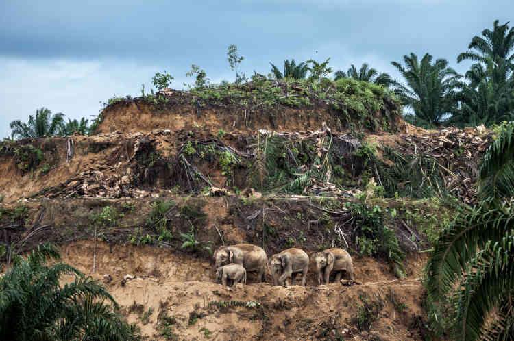 A l'est du Sabah, sur l'île de Bornéo, trois générations d'éléphants de Bornéo se frayent un chemin sur la terrasse d'une palmeraie qui vient d'être déboisée avant replantation. L'huile de palme est un produit d'exportation planétaire lucratif et, dans l'Etat du Sabah, en Malaisie, où l'essentiel des forêts tropicales a été coupé, cette industrie reste le premier moteur de la déforestation.