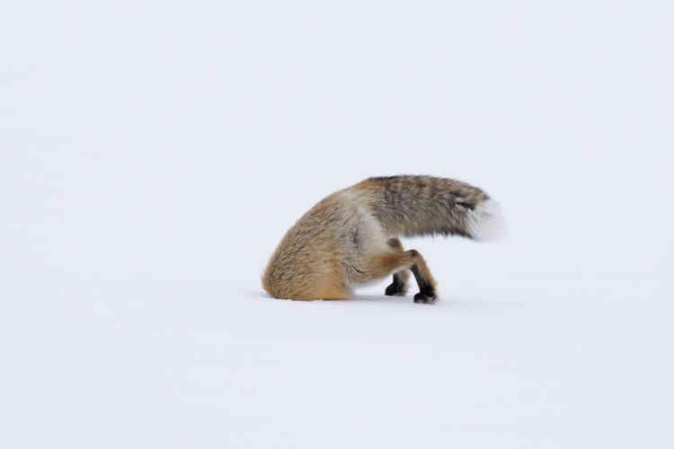 Une épaisse couche de neige recouvrait la vallée de Lamar, dans le parc de Yellowstone. Le temps était nuageux, il faisait froid. Cette renarde chassait près de la route, marchant tranquillement sur la croûte de neige. Elle s'arrêtait de temps à autre et penchait la tête d'un côté et de l'autre, tentant de détecter d'éventuels mouvements de proies sous la neige, probablement des campagnols.