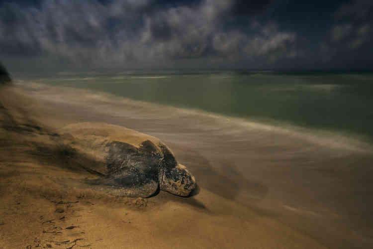 Comme des générations avant elle, cette tortue luth traîne son corps pesant sur le sable, en s'aidant de ses nageoires démesurées. Elle retourne imperturbable à l'océan. Les luths sont les plus grandes des tortues, celles qui ont la plus vaste aire de répartition et plongent le plus profond. Leur lignée génétique s'est séparée de celle des autres tortues il y a 100 à 150 millions d'années.