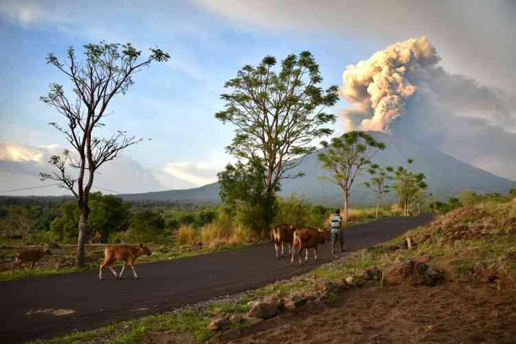 Un fermier guide son bétail dans le sous-district de Kubu, préfecture de Karangasem. Le mont Agung est craint car il s'agit d'un volcan de type «explosif». Riches en eau, ces volcans sont susceptibles de générer des explosions importantes avec projection d'énormes quantités de débris et de cendres brûlantes, très haut dans l'atmosphère.