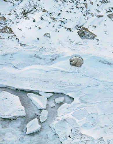 Jusqu'en 1973, année où des contrôles stricts ont été instaurés, les ours polaires souffraient surtout de la chasse. Aujourd'hui, ils sont menacés par la disparition de la banquise, qui leur permet de chasser le phoque, leur nourriture principale. Cette espèce, qui compte environ26000individus, pourrait perdre un tiers de sa population d'ici à la moitié du siècle si le réchauffement climatique se poursuit au même rythme.