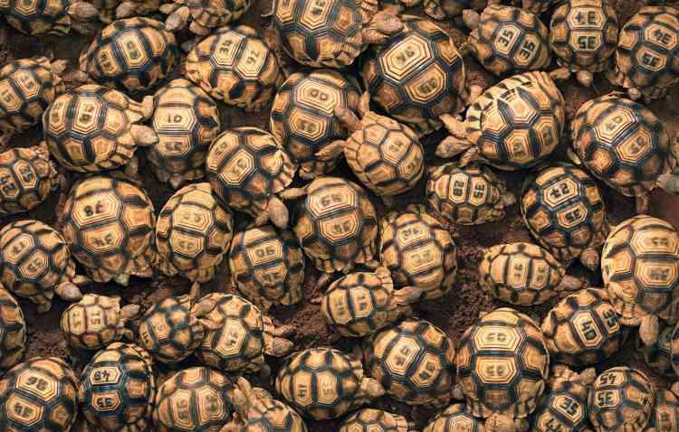 Une tortue à soc adulte, endémique de Madagascar, vaut des dizaines de milliers de dollars sur le marché noir. Même si le commerce de tortues vivantes est interdit, il a augmenté ces dernières années. Ces animaux ont été interceptés à Bangkok ou à Bombay, entassés dans des valises, cachés parmi des chaussettes, des couches ou des sacs en plastique. Les tortues meurent souvent du fait du stress du voyage. Des élevages ont été mis en place à Madagascar. Mais comme les tortues étaient souvent volées, elles voient leur carapace aujourd'hui gravée d'un nombre – une opération indolore.