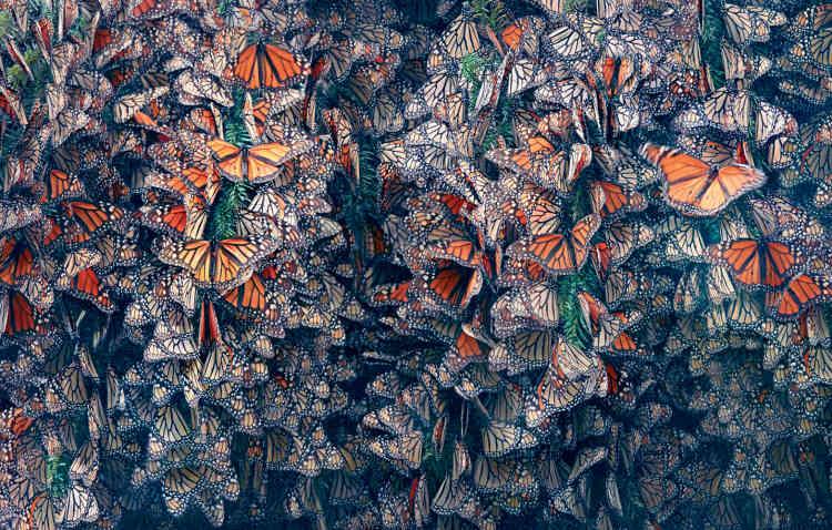 Le papillon monarque est au centre des préoccupations des entomologistes depuis les années 1970. Dans les années 1980, l'UICN inscrivait la migration des monarques comme un phénomène menacé, réalisant que de moins en moins de ces papillons semblaient se rendre dans leurs quartiers d'hiver, en Californie et au Michoacán, au Mexique. Les chiffres montrent un déclin de 74 % entre1997 et2016 en Californie, et de 80% à 90 % au Mexique, et ont conduit à des mesures de conservation, comme la protection des forêts mexicaines.