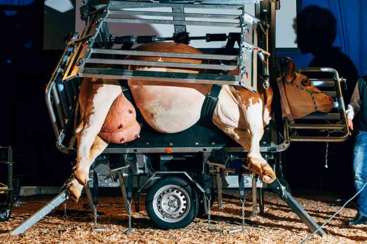 Présentation d'une nouvellecage de contention pour parer les sabots des vaches, à Hanovre, en novembre 2016.