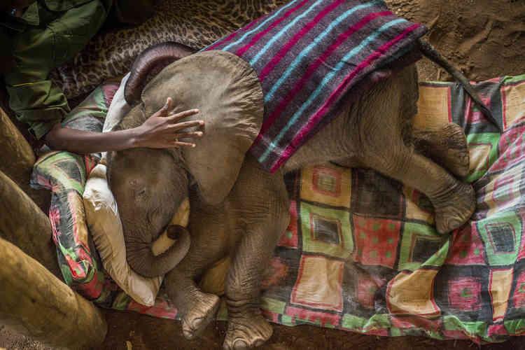 Un bébé éléphant sauvé au Reteti Elephant Sanctuary, au nord du Kenya, le 29 septembre 2016.