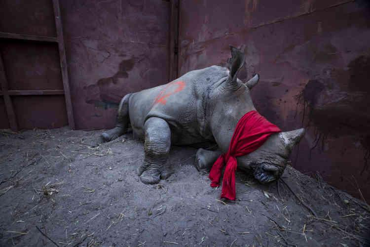 Un jeune rhinocéros blanc, drogué, sur le point d'être relâché dans la nature dans le delta de l'Okavango au Botswana.