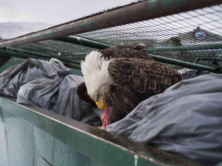 Un aigle se régale de chutes de viande dans les poubelles d'un supermarché à Dutch Harbor, Alaska, le 14 février 2017.