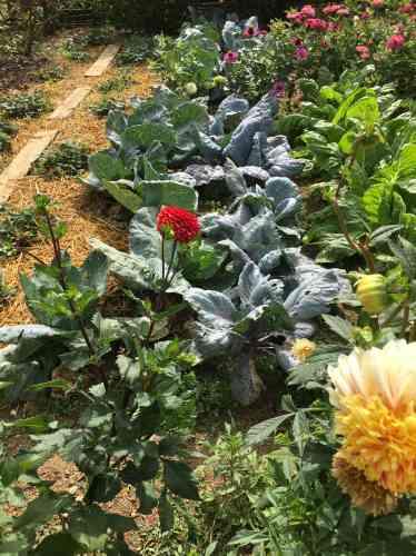 Harmonieux, décoratif et fleuri, le potager produit aussi des... légumes.