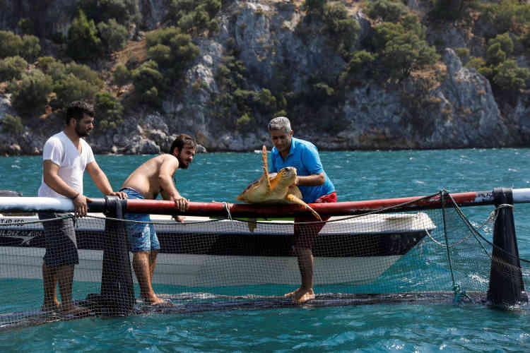 Le professeur Yakup Kaska remet une tortue de mer en cage après un contrôle médical.