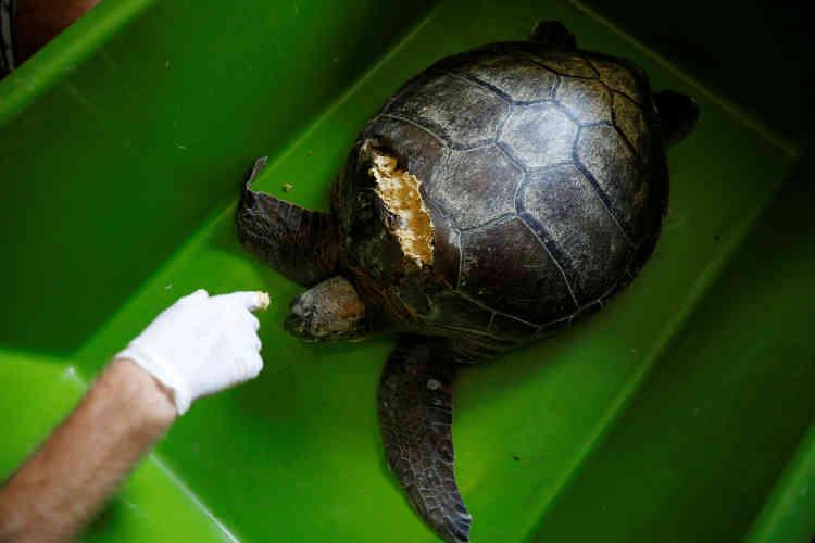 Des membres du DEKAMER injectent de la cire d'abeille dans la carapace d'une tortue de mer blessée par l'hélice d'un bateau. Cela fait partie des menaces qui pèsent sur les tortues commed'être prises dans des filets de pêche et de manger des objets en plastique transparent, qu'elles prennent pour des méduses.
