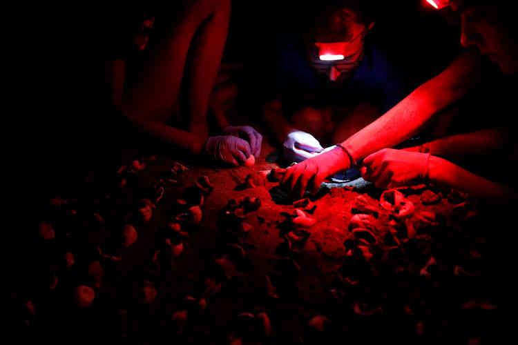 Des œufs de tortues de mer sont dénombrés par des volontaires,le 5 juillet.Lorsque Jane Haimoff a commencé sa campagne, le nombre de nids de tortues sur la plage était de 200. Aujourd'hui, il y en a 500, ce qui signifie que 20 000 bébés tortues prennent la mer chaque année.
