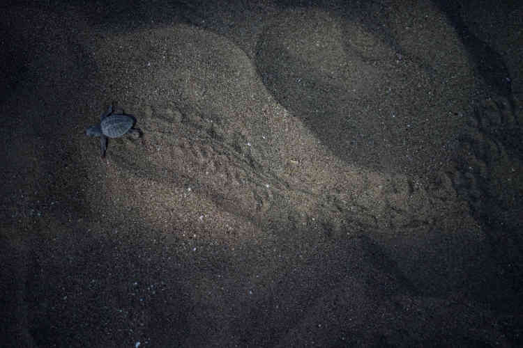 Une petite tortue de mer rampe vers la mer, le 17 juillet.Les tortues caouannes, ainsi que les tortues vertes qui vivent également le long de la côte turque, sont deux des neuf types de tortues de la Méditerranée.