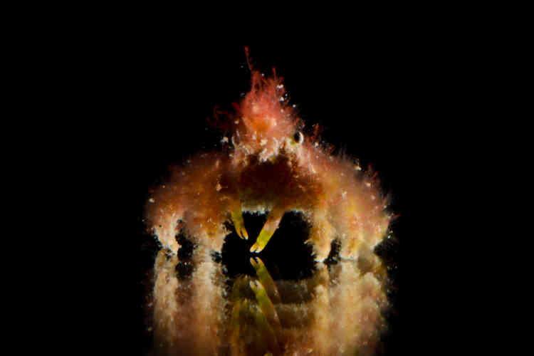 La carapace de ce crabe est couverte de petits poils en forme de crochet qui lui permettent d'y accrocher des morceaux d'éponges, d'algues ou d'organismes urticants, préalablement découpés. De quoi se camoufler des prédateurs, mais aussi les dissuader d'avaler ce crustacé couvert de substances urticantes.