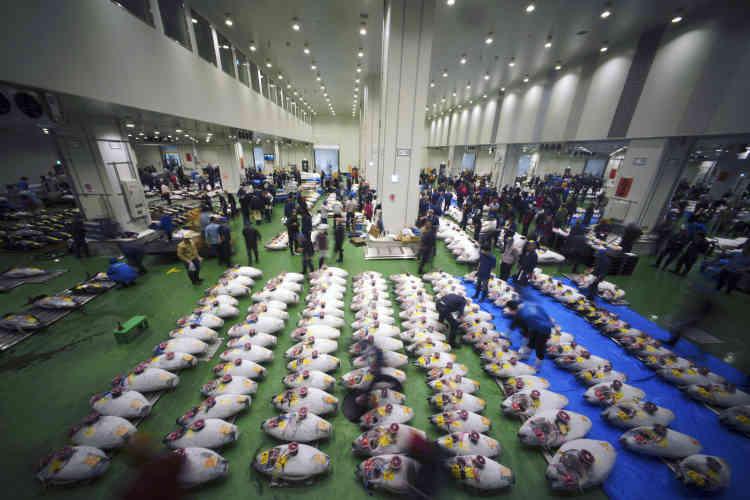 Lors des enchères sur des thons congelés, le jeudi 11 octobre.Le lieu a changé, mais le spectacle reste le même : grossistes et acheteurs se sont retrouvés à l'aube jeudi pour la première fois sur le marché aux poissons de Toyosu, moins d'une semaine après la fermeture du mythique Tsukiji.