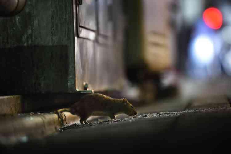Un rat près du marchéle 30août.300kilogrammes de poison seront placés à des endroits stratégiques de Tsukiji dans le cadre de l'opération destinée à tuer les dizaines de milliers de rats prêts à sortir du fait du déménagement.