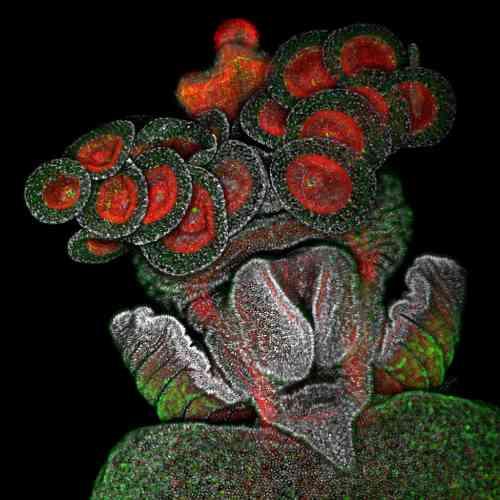 Larve de Polytrichus d'un ptéropode de gymnosome pélagique avec pièces buccales externalisées en forme de coupe utilisées pour l'alimentation (actine en rouge ; noyaux en niveaux de gris ; éléments positifs pour la sérotonine en vert).