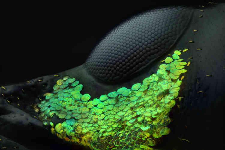 Un œil deMetapocyrtus subquadrulifer (de la famille des coléoptères).
