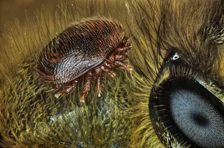Varroa destructor (acarien) sur le dos d'une Apis mellifera (abeille à miel).