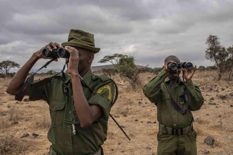 Des rangers communautaires sur la trace d'un éléphant, après avoir été informés qu'un éléphant était blessé à Kitirua, dans le parc d'Amboseli.