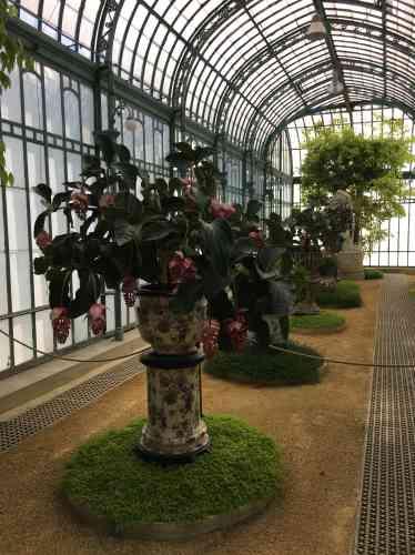 « Medinilla magnifica», plantes tropicales des Philippines, présentés dans des vases chinois rapportés d'Extrême-Orient par le futur Léopold II.