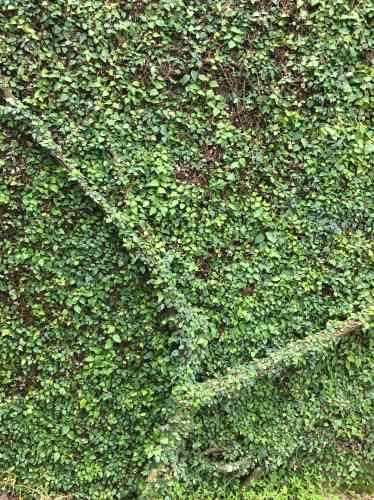 Un étonnant mur végétal.