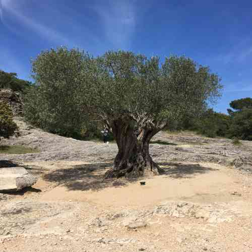 Cet olivier en apparence «millénaire» n'a pas toujours été là, comme le laisse deviner la trace de sa fosse de plantation. Moins convenu, le parcours Mémoires de garrigue, conçu par l'ethnobotaniste Véronique Mure,raconte, avec ses murets de pierres sèches, ses chênes verts et ses végétaux méditerranéens, l'histoire du lieu.