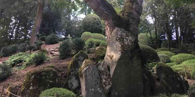 Le tronc semble littéralement jaillir de la roche.