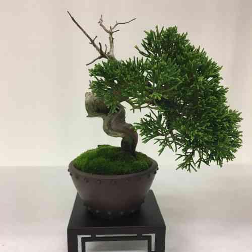 Extrêmement codifié, l'art du bonsaï, fait de tailles répétées et de soins méticuleux, produit d'authentiques chefs-d'œuvre végétaux, comme ce genévrier au tronc noueux et écorcé.
