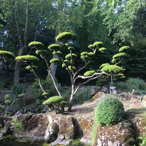 Ces niwakis, véritables champignons végétaux, fascinent par leur allure. Leur taille, authentique prouesse technique, met en valeur la forme des branches et permet au promeneur de voir au travers.