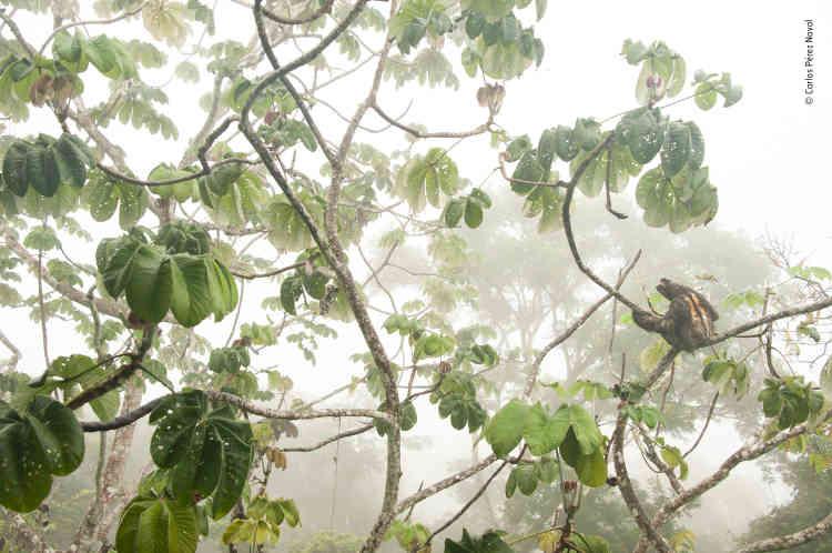 Un paresseux à gorge brune accroché aux branches d'un cecropia,dans le Parc national de Soberania (Panama).