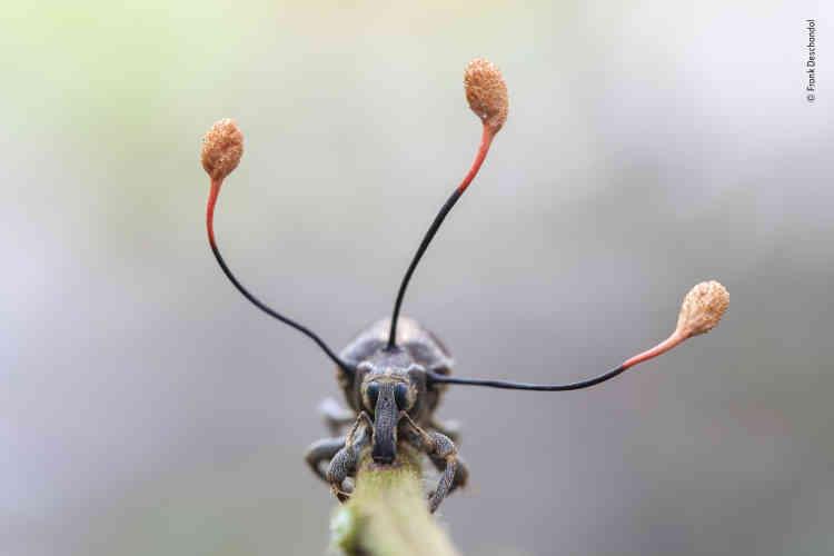 Lors d'une expédition nocturne dans la forêt amazonienne au Pérou, Frank Deschandol découvrit cet étrange charançon accroché à une tige. Ses yeux vitreux montraient qu'il était mort. Les trois antennes projetées hors de son thorax sont les pédoncules d'un champignon pathogène « zombi ». Il se développe dans le charançon vivant, prenant lentement le contrôle de son système musculaire, puis le contraint à grimper dans la canopée. A bonne hauteur pour le champignon, l'insecte s'arrime. Alimenté par les parties internes du charançon, le champignon développe ses pédoncules surmontés de capsules. Elles libèreront ensuite une multitude de spores pour envahir d'autres proies.