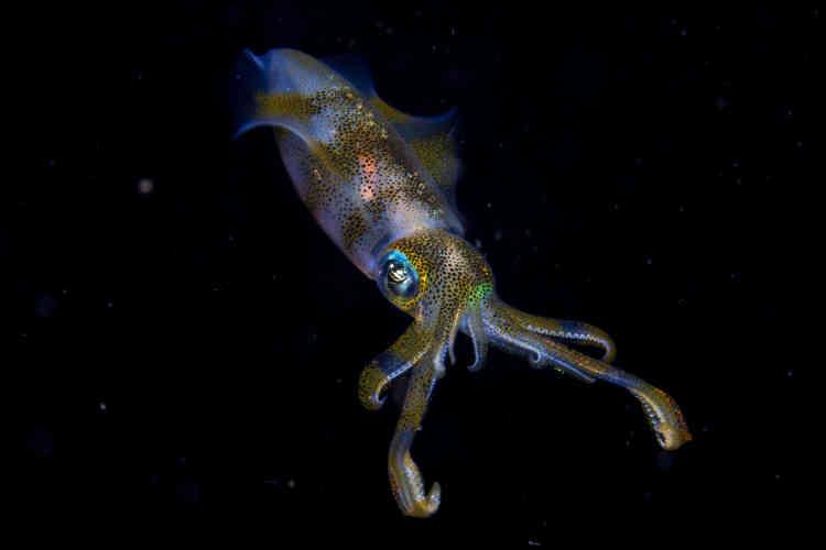 Cruz Erdmann participait à une plongée nocturne organisée dans le détroit de Lembeh, au nord du Sulawesi (Indonésie), dans des eaux peu profondes qui surplombaient un banc de sable, quand il croisa un couple de calmars récifaux à grandes nageoires. A son approche, le plus petit se propulsa au loin, mais le second, probablement un mâle au corps irisé qui brillait dans l'obscurité, fit du surplace pendant quelques secondes.
