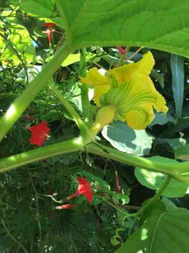 Cucurbitacée en fleur.